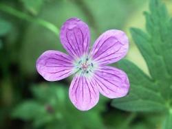 Flower Wallpaper - Little violet