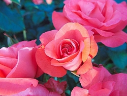 Flower Wallpaper - Pink roses