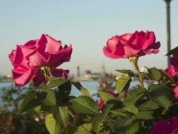 Flower Wallpaper - Rose tree