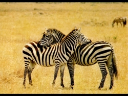 Animal Wallpaper - Zebras in love