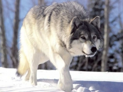 Animal Wallpaper - Wolf in snow