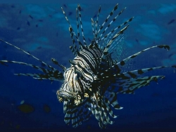 Animal Wallpaper - Lion fish