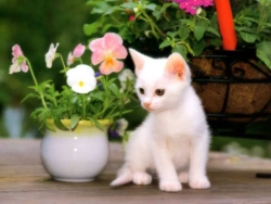 Animal Wallpaper - White kitten