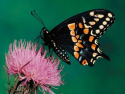 Nature Wallpaper - Black Butterfly