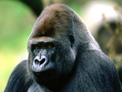 Animal Wallpaper - Gorilla head