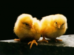 Animal Wallpaper - Chicks