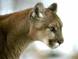 Animal Wallpaper - Mountain lion