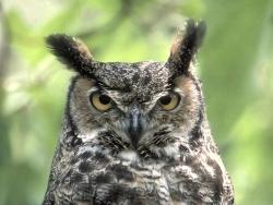 Animal Wallpaper - Cruel owl
