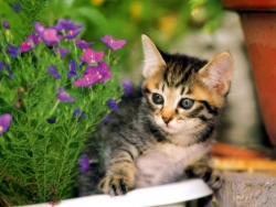 Animal Wallpaper - Tricolour cat
