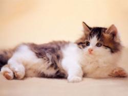 Animal Wallpaper - Spruce cat