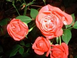 Flower Wallpaper - Nice roses