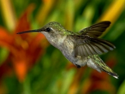 Animal Wallpaper - Humming bird