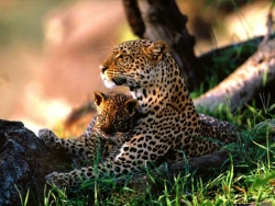 Animal Wallpaper - Leopard