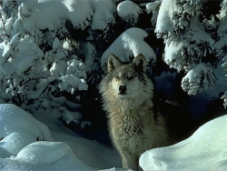 Animal Wallpaper - Snowy wolf