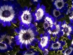 Flower Wallpaper - Blue flowers