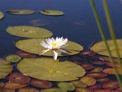 Flower Wallpaper - A lotus