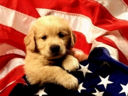 Animal Wallpaper - Patriotic dog