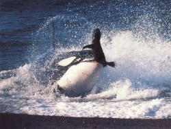Animal Wallpaper - Orca