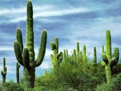 Landscape Wallpaper - Cactus forest