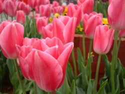 Flower Wallpaper - Tulips