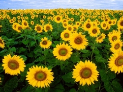Flower Wallpaper - Sunflower field
