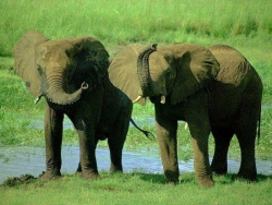 Animal Wallpaper - Couple Elephants