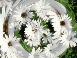 Flower Wallpaper - Daisy swirl