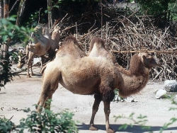 Animal Wallpaper - The Camels