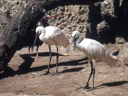 Animal Wallpaper - White Spoonbills