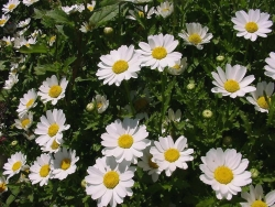 Flower Wallpaper - Daisies