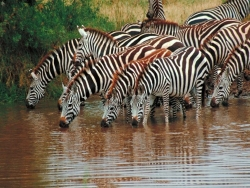 Animal Wallpaper - Zebras herd