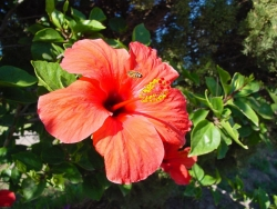 Flower Wallpaper - Red Hibiscus