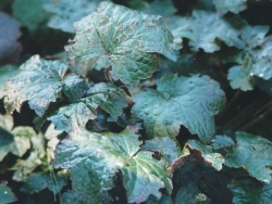 Nature Wallpaper - Heuchera Palace Purple