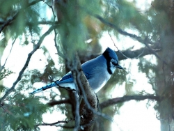 Animal Wallpaper - Blue Jay bird