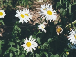 Flower Wallpaper - Chrysanthemum superbum