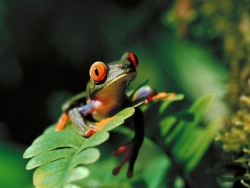 Animal Wallpaper - Tree frog