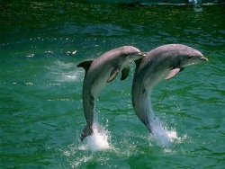 Animal Wallpaper - Two dolphins