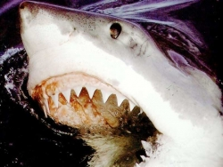 Animal Wallpaper - Shark teeth