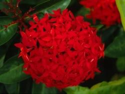Flower Wallpaper - Red peony