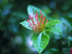 Flower Wallpaper - Peony bud