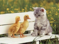 Animal Wallpaper - Cat & duckling