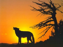 Animal Wallpaper - Wild wolf