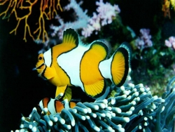 Animal Wallpaper - Yellow fishes