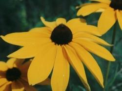Flower Wallpaper - A sunflower