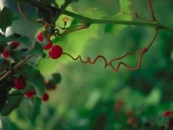 Nature Wallpaper - Liana