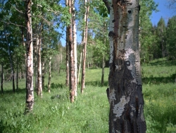 Landscape Wallpaper - Birch forest