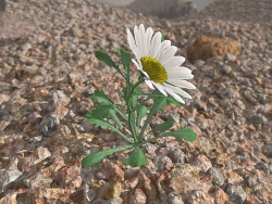 3D and Digital art Wallpaper - Desert' daisy