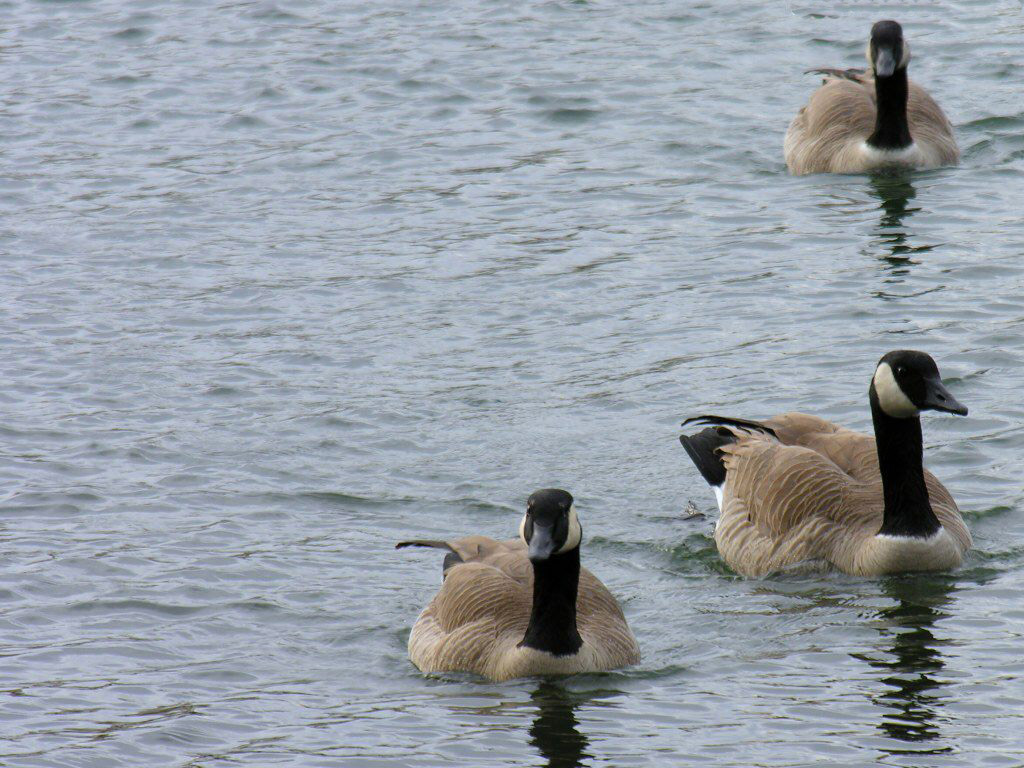 Three gooses