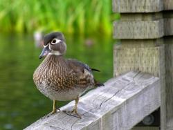 Animal Wallpaper - Ugly duckling
