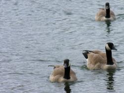 Animal Wallpaper - Three gooses